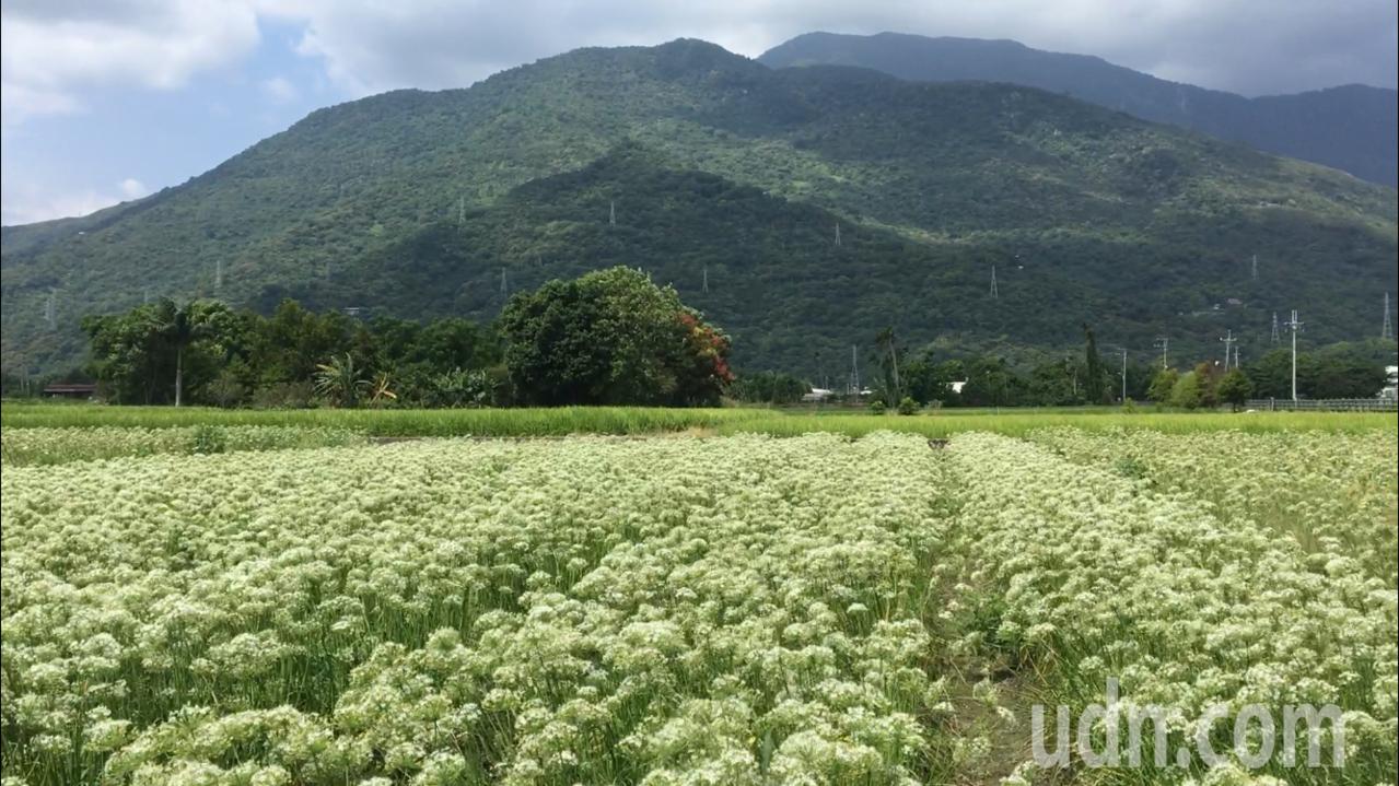 雪白韭菜花搭配藍天白雲,映襯後方山巒,怎麼拍都美。記者徐庭揚/攝影