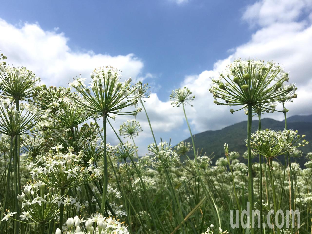 韭菜花的細白碎花朵隨風搖曳,點綴著鄉間小路。記者徐庭揚/攝影