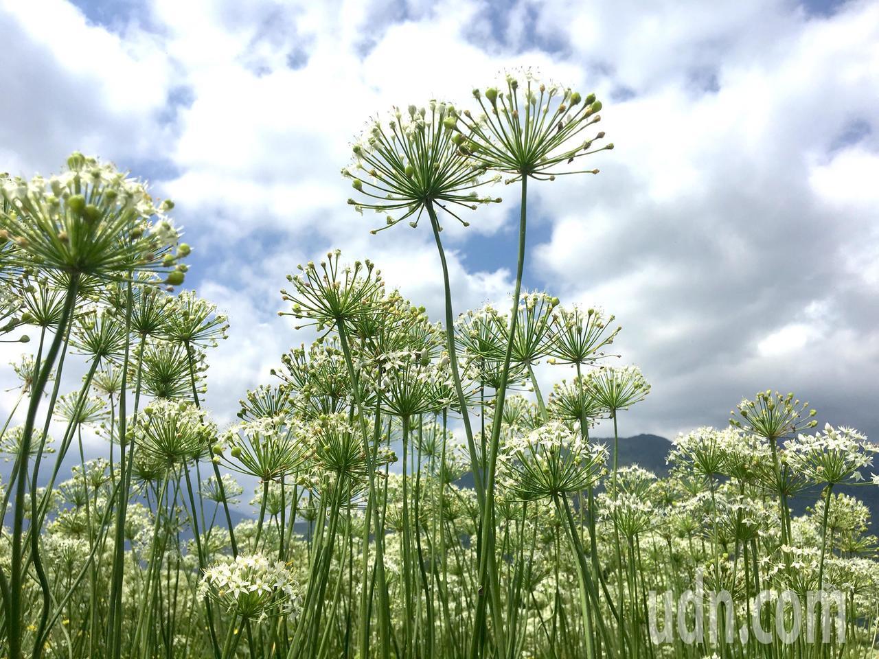 「九月雪」正美,吉安鄉田間韭菜花田成為熱門打卡景點。記者徐庭揚/攝影