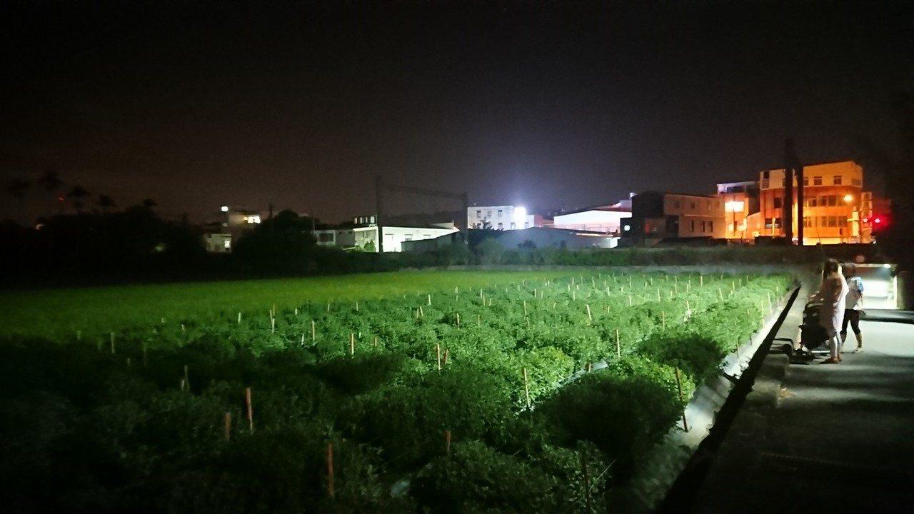 苗栗縣銅鑼鄉部份杭菊田疑受光害,路燈照射範圍幾無花苞。 記者范榮達/攝影