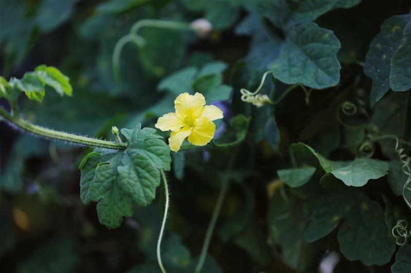 高雌花母本的山苦瓜藤,開出豔黃的花朵。