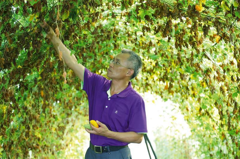 花蓮農改場副研究員全中和辛勤育種山苦瓜,開闢山苦瓜多樣的經濟價值。