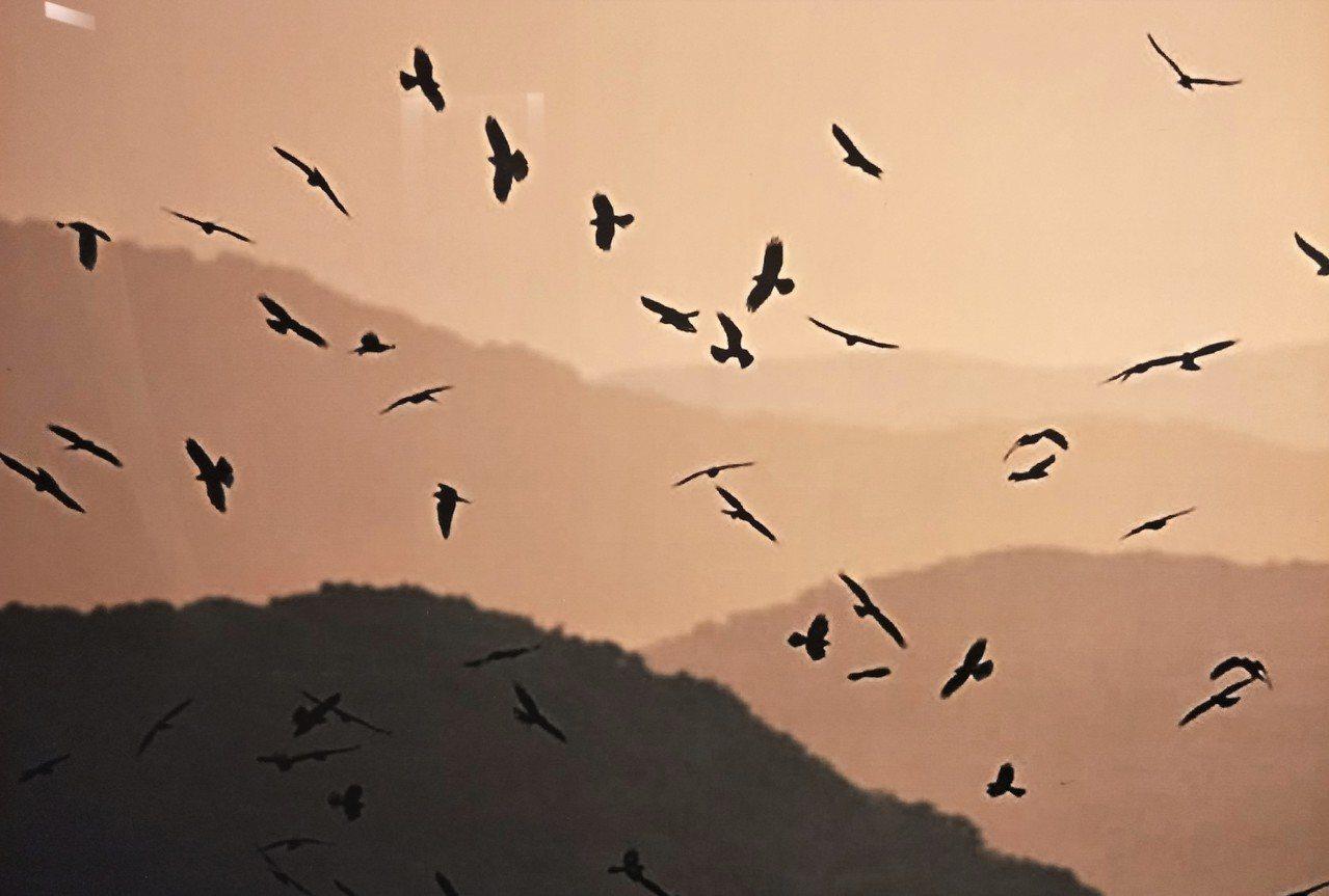 灰面鵟鷹昨天爆出上萬隻出境墾丁大量,今天也有3000多隻;牠們下午乘著氣流降落,...