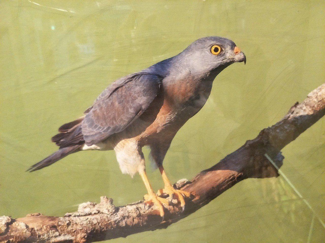 每年雙十國慶前後過境屏東恆春半島的灰面鵟鷹,又稱「國慶鳥」。