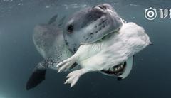 怕攝影師餓死 海豹狂抓企鵝來餵食、還示範怎麼吃
