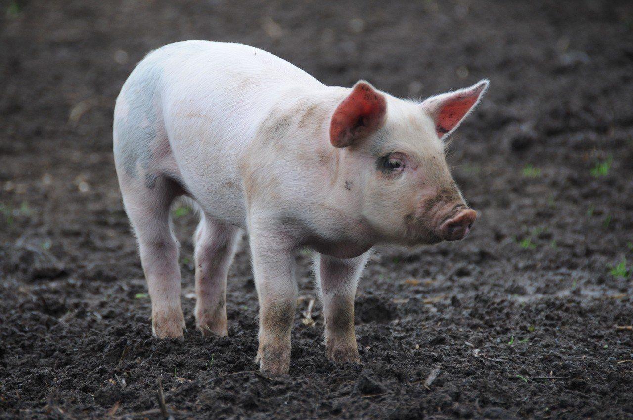 中國大陸京津冀地區首次出現非洲豬瘟疫情。 示意圖/ingimage
