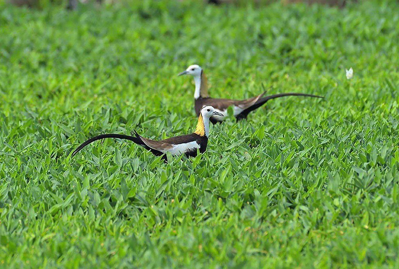 台灣水雉(圖)是第二級珍貴稀有保育類,臉部到頸部的白色羽毛,以及後頸上的金黃羽色...