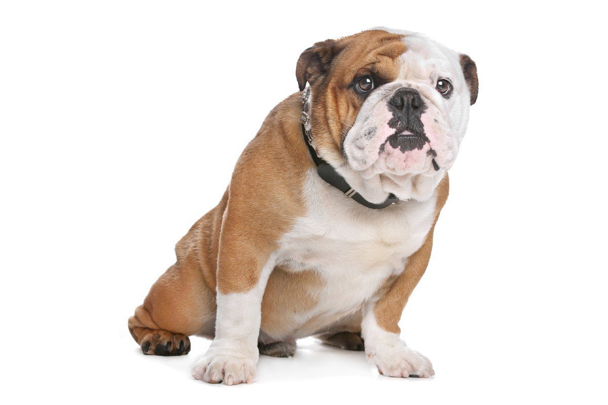 示意圖。改良後培育的老式英國鬥牛犬性格較溫馴,非本案中小狗。圖/ingimage
