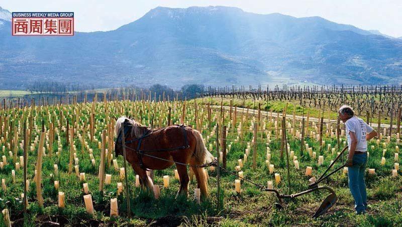 天然釀酒,自然派的葡萄園多採用有機或自然動力農法,馬耕是此農法的實踐之一。(攝影...