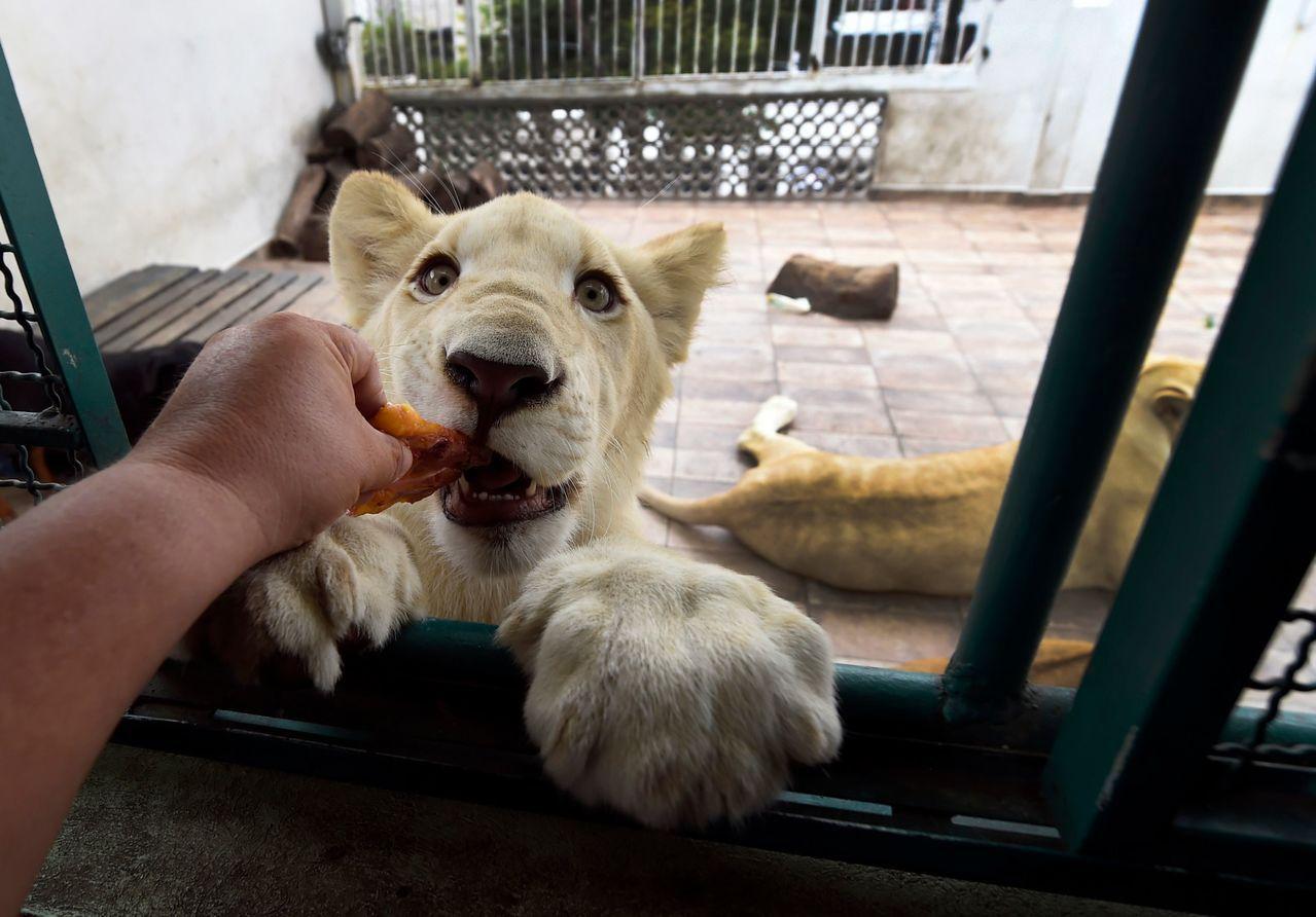 48歲的墨西哥商人羅德里格斯在頂樓豢養3頭獅子,牠們雖然相當溫馴,但偶而發出的獅...