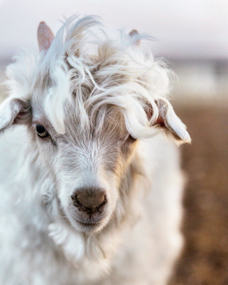 未滿1歲的小山羊喀什米爾,是在外層保護披毛自然脫落時採集。圖/Loro Pian...