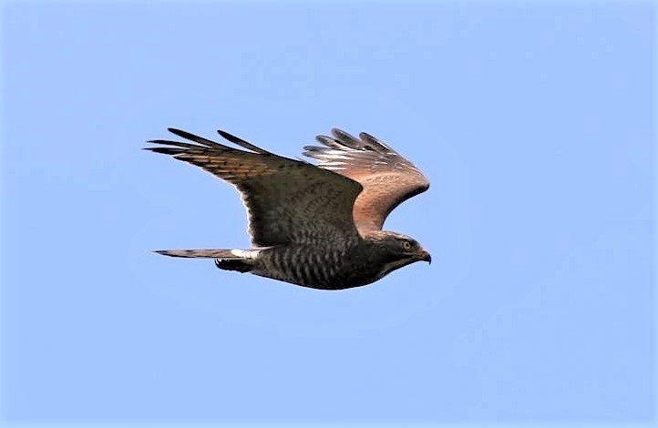 「國慶鳥」灰面鵟鷹的飛翔英姿。圖/墾管處提供