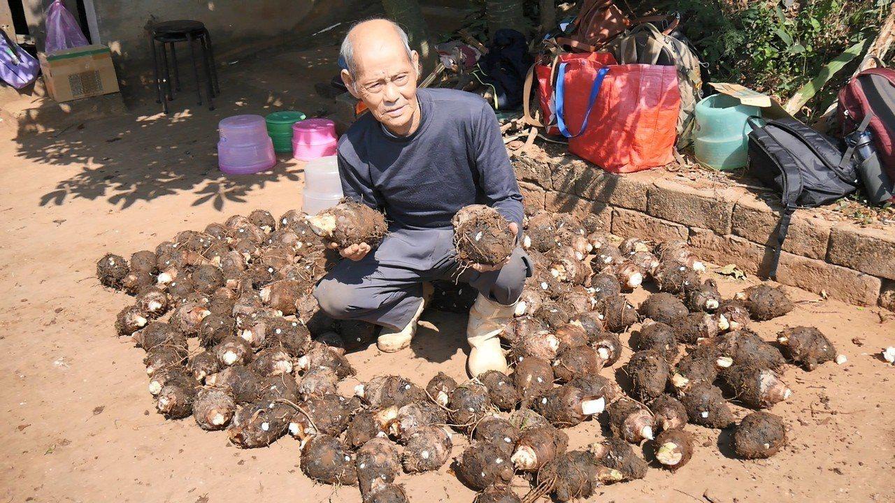 今年84歲的芋農洪文居,在熱心網友的協助下,今完成500斤的芋頭採收,讓老人家的...
