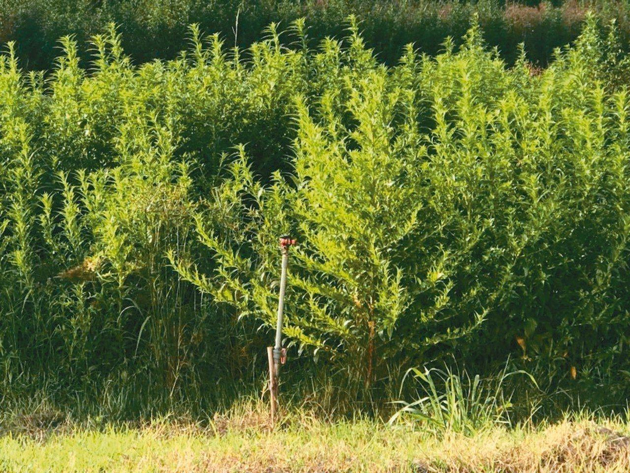 國家生技園區充斥外來種,圖為翼莖水丁香。 圖/讀者提供