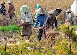 國際水稻研究所獲得資助後,更能大規模改造出新水稻,以應對未來環境。 台灣醒報(擷...