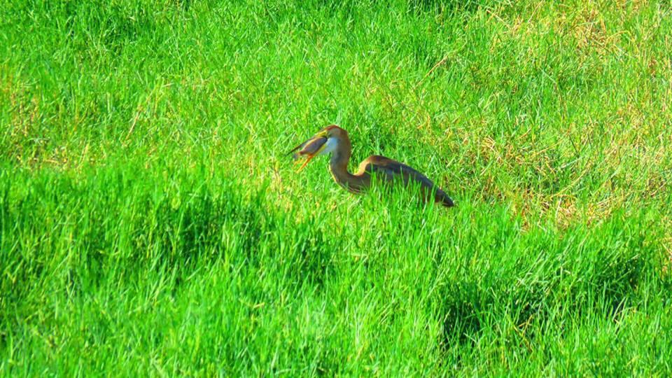 荒野保護協會嘉義分會解說員蘇家弘在鰲鼓濕地千島湖拍攝自然生態,發現稀有冬候鳥紫鷺...