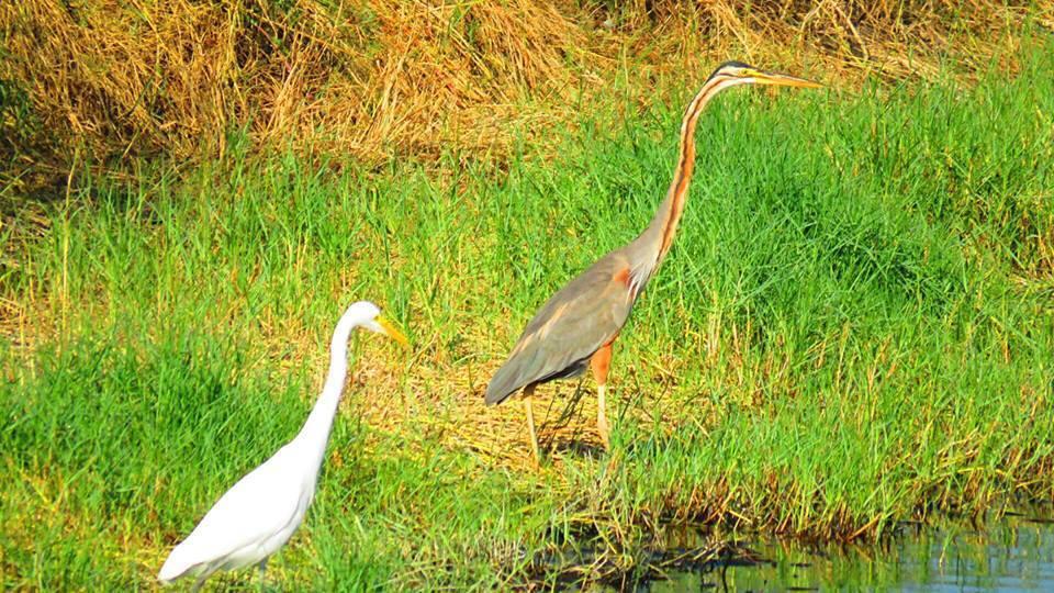 蘇家弘拍紫鷺(右)跟另一隻中白鷺正準備覓食,相照之下,紫鷺脖子很長。圖/蘇家弘提...