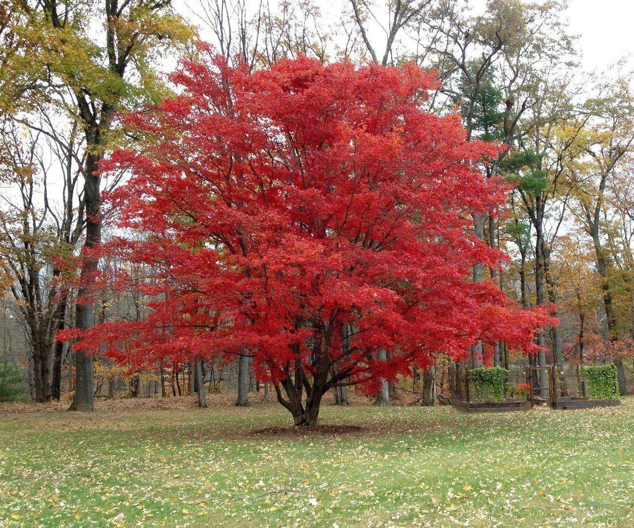 日本入秋多處楓葉開始轉黃轉紅,圖為青森縣的楓葉。 美聯社