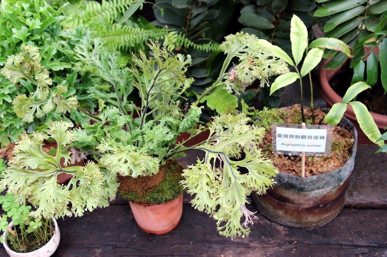 台北市青年公園園藝展覽館16日推出「遠古植物展」,展出多樣蒐藏家等級的松柏類及蘇...