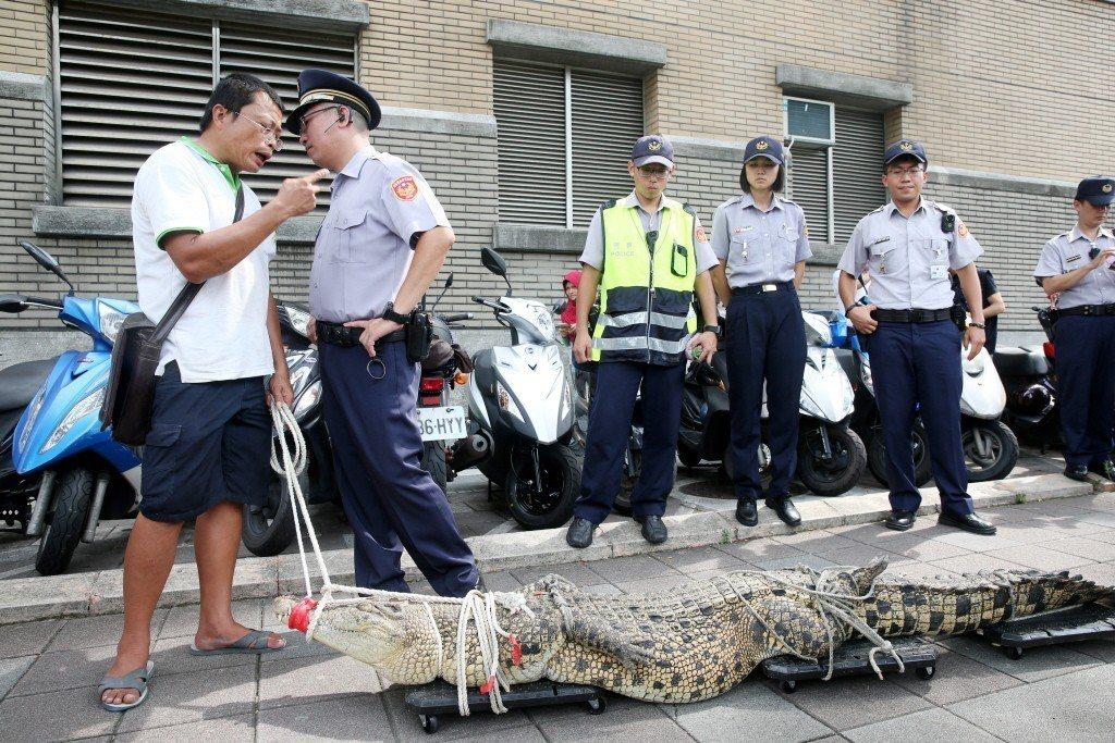 鱷魚養殖業者因不滿法規禁止鱷魚繁殖、宰殺與販售,帶鱷魚北上抗議,但因擔心鱷魚脫水而必須不斷澆灌水。 圖/聯合報系資料照