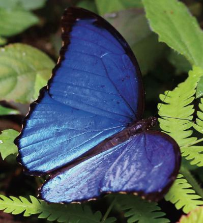 絕美無比的美藍摩爾佛蝶(Morpho menelaus ),展現最高貴的藍寶石光...