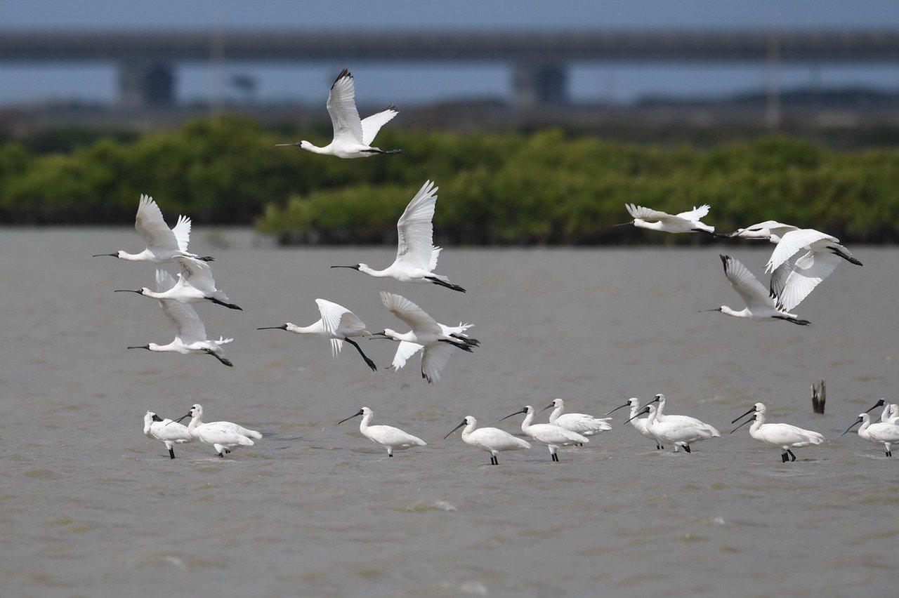 黑面琵鷺來台數量逐漸增加。圖/台南市生態休育學會提供