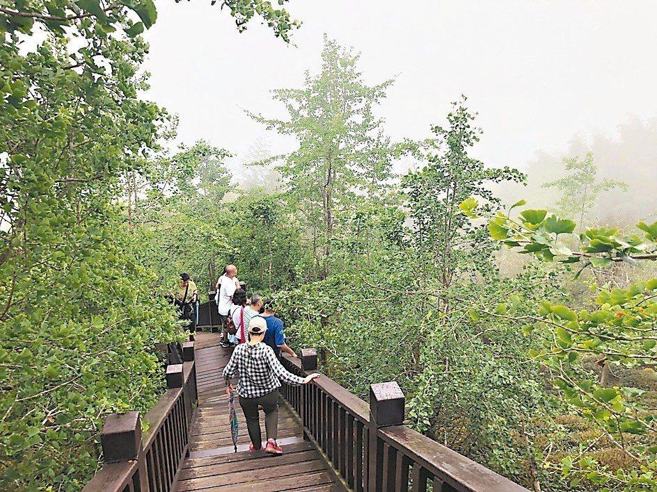鹿谷鄉銀杏森林氣候涼爽,是國內少數的銀杏林景點。 記者江良誠/攝影