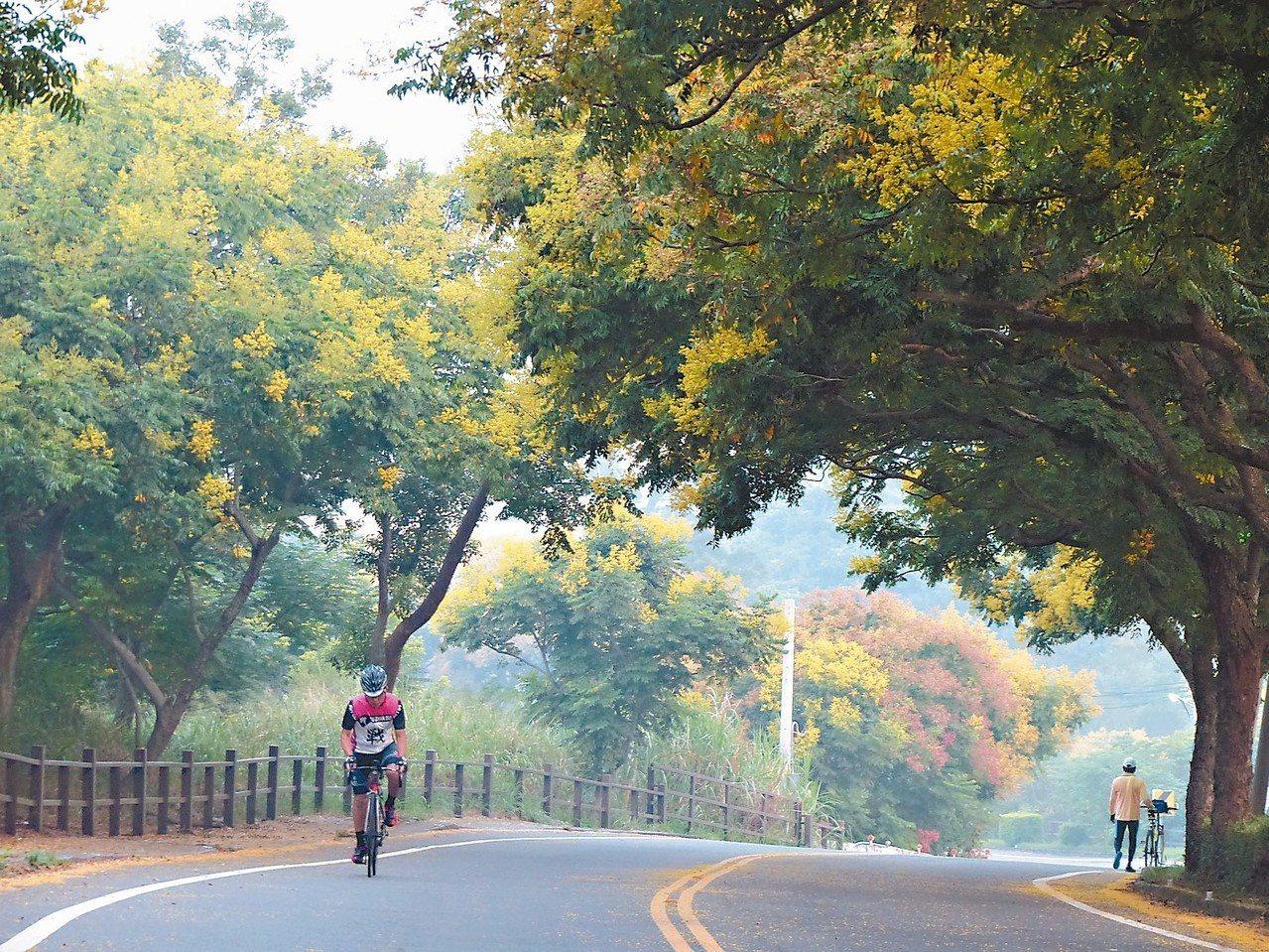彰化八卦山139線的台灣欒樹盛開,騎單車馳騁賞心悅目。 記者劉明岩/攝影