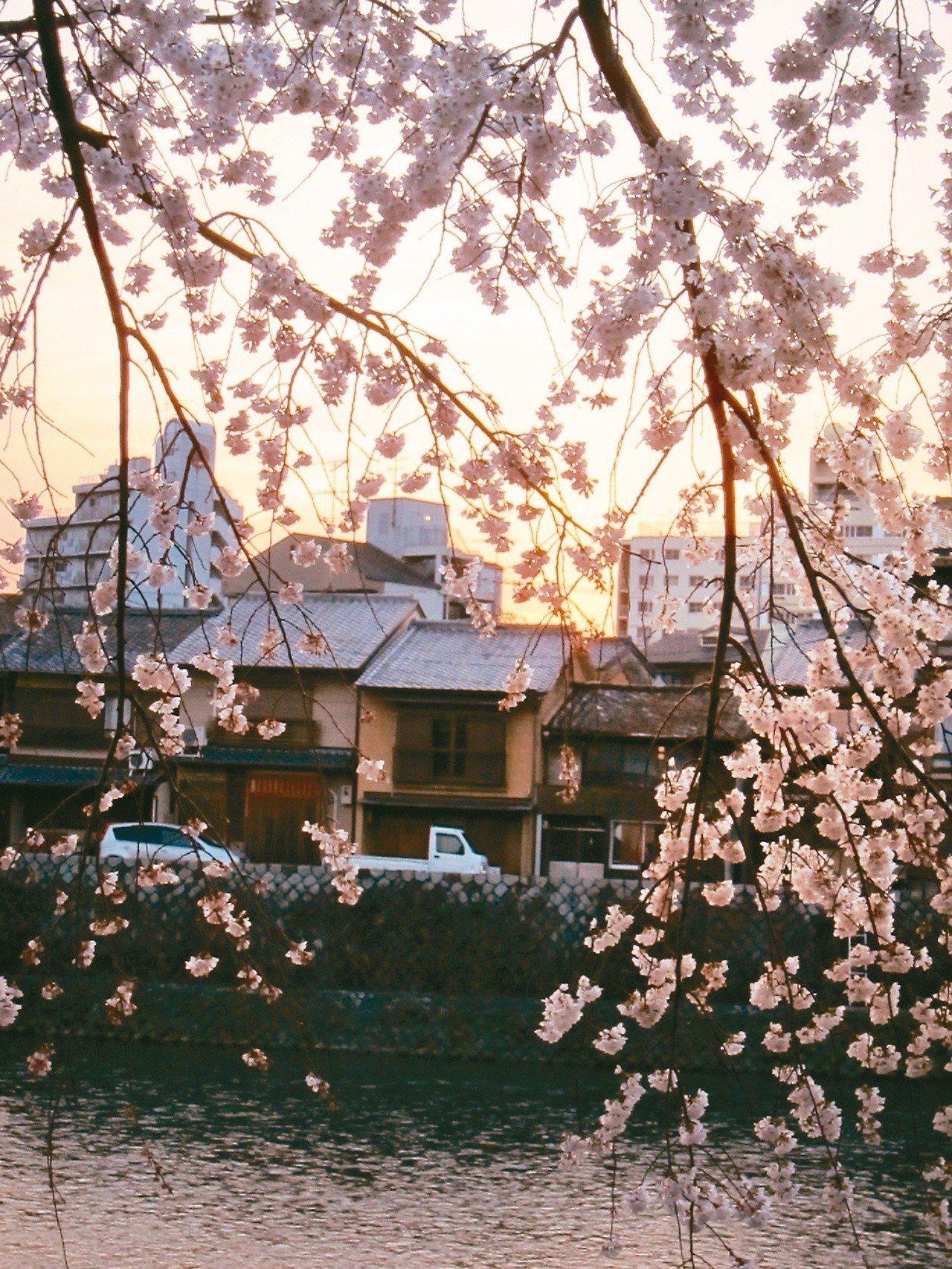 多年的京都賞櫻經驗中,深切感受到人生的無常與無法掌握。(圖/李清志提供)