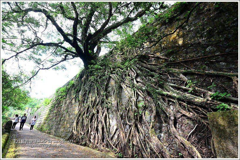 接近終點的巨大榕樹,樹根蔓生爬滿整面石牆,很有氣勢。