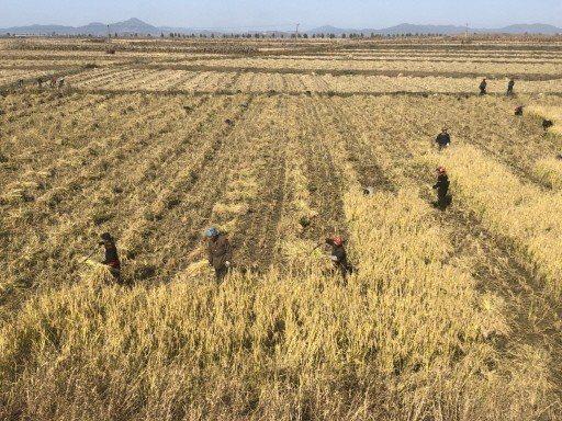 北韓城鄉差距大,農村有如50、60年代的台灣,農人趕鴨、趕羊,也常見牛車載送乾草...