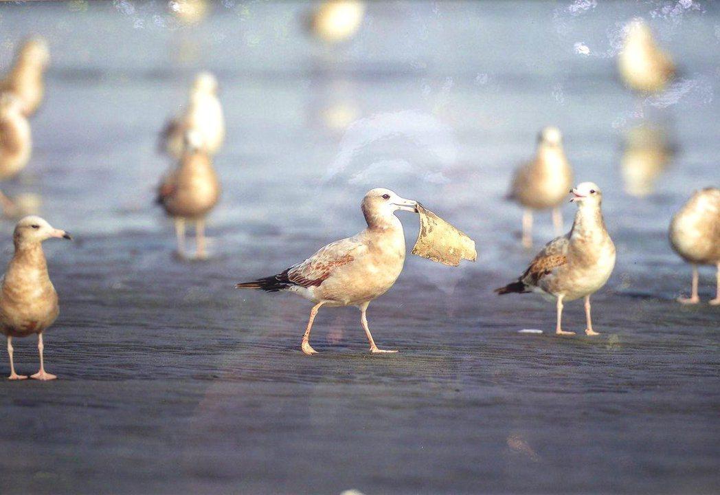 李俊輝這幅作品中,黑尾鷗嘴巴叼住的物品不是食物,而是遺留在沙灘上的塑膠垃圾。 記...