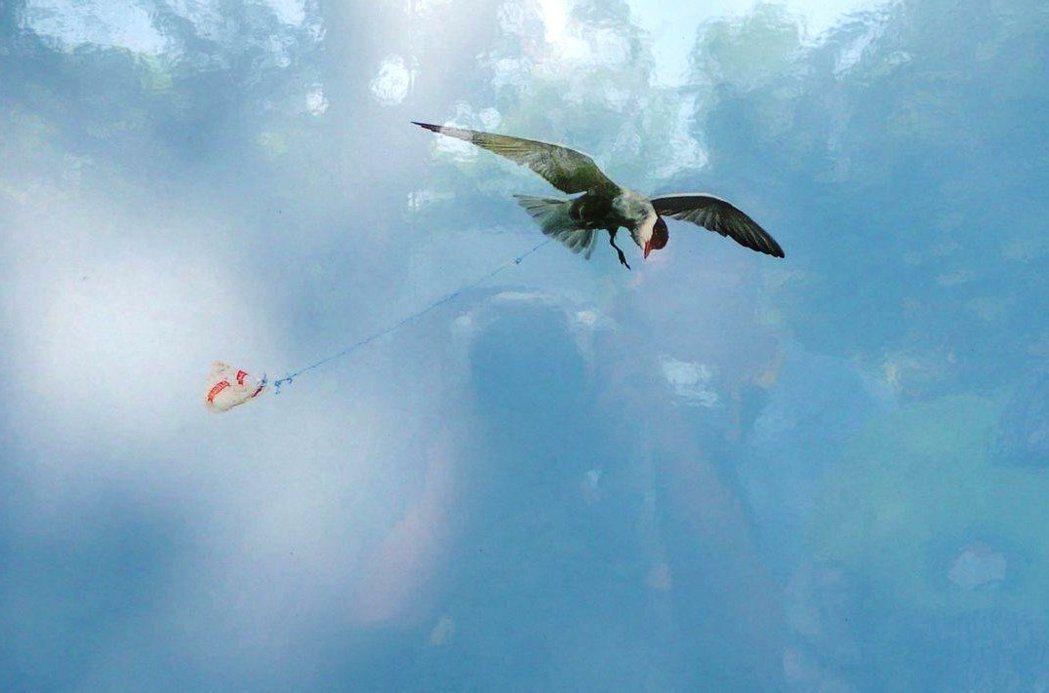 李俊輝拍攝空中飛翔的黑腹燕鷗,鳥腳被塑膠細繩綁住,被迫拖曳著垃圾飛行。 記者...