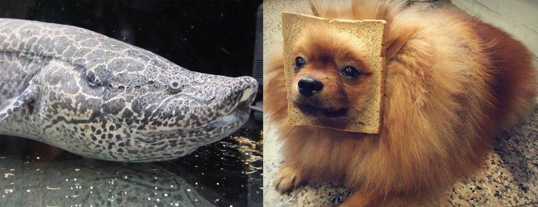 盧秀燕的小編蔡庭詔說,「非洲肺魚」可以離開水面休眠幾年不吃、不喝,很符合他「愛吃...