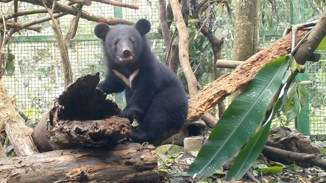 去年7月在花蓮南安瀑布附近被發現的落單小黑熊(小熊妹),經台灣黑熊保育協會9個月...
