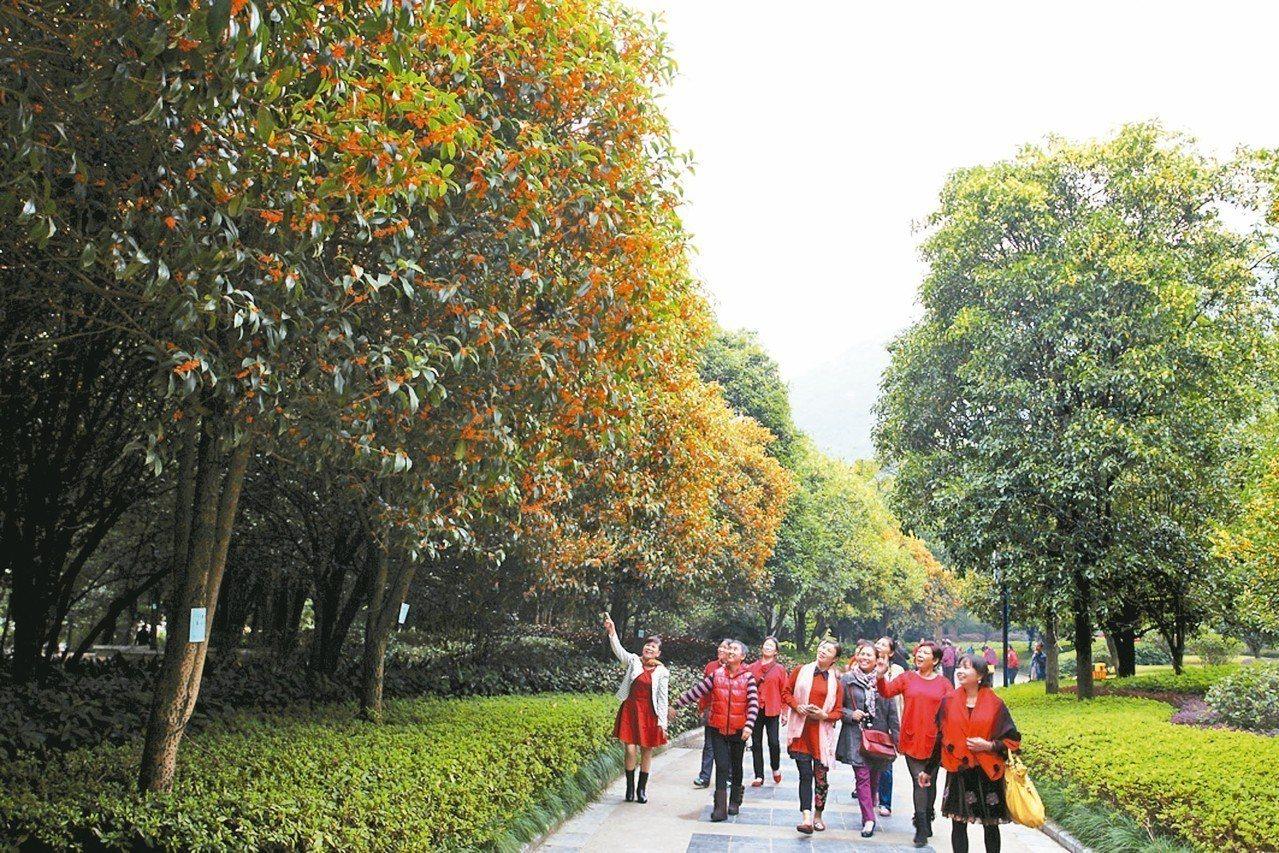 在廣西桂林,桂林與桂花有很多趣聞。圖為民眾在桂林園林植物園賞桂花。 中通社