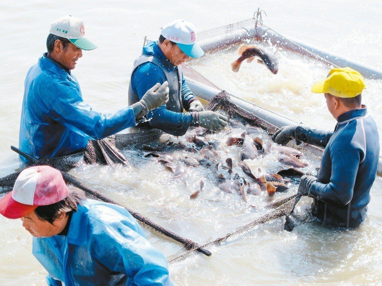 高雄永安漁民揀撈石斑魚的情形。 圖/聯合報系資料照片