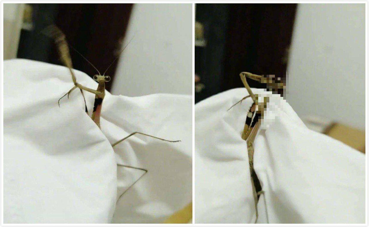 一隻螳螂竟然拔頭自盡?!讓網友都大開眼界。 圖片來源/《虎撲社區》