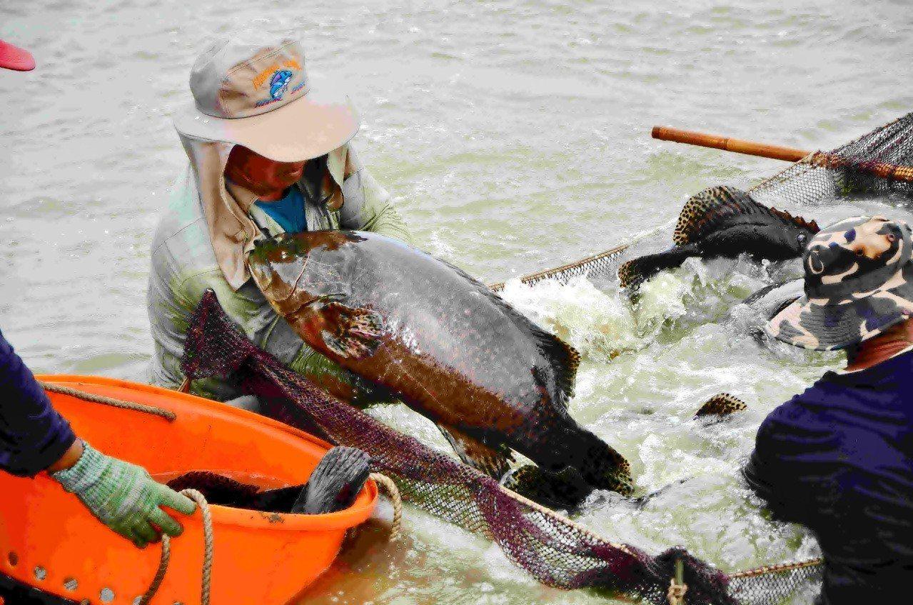 馬政府過去大力培植國內石斑魚養殖業,產量九成銷往中國,蔡政府上任後,外銷市場節節...