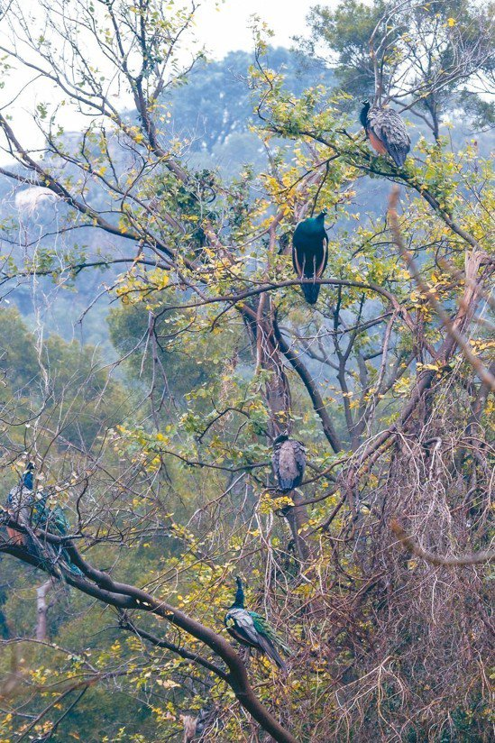 金門孔雀數量大爆發,有網友就拍下一棵樹上有多隻孔雀棲息。 圖/翻攝網路