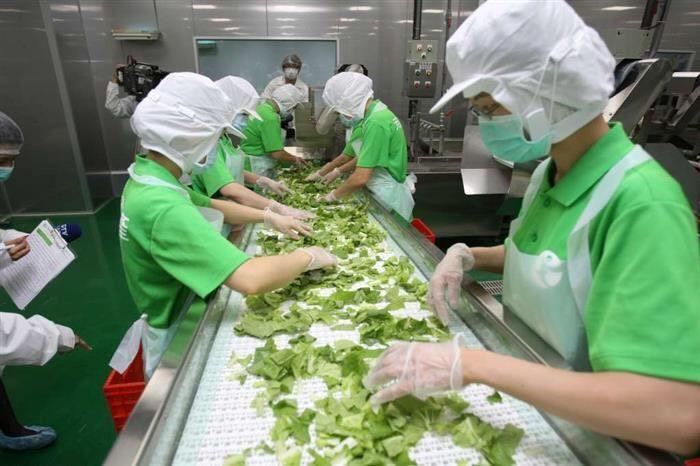 元茂有機截切場處理營養午餐青菜截切清洗工作。 圖/元茂有機截切場 提供