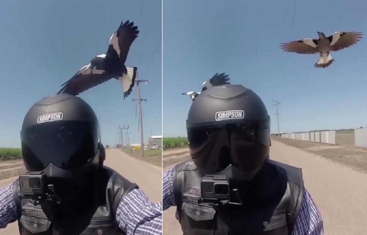 澳洲有一名機車騎士,日前感受到築巢期公喜鵲護家心切的怒火,在公路上遭2隻喜鵲追逐...