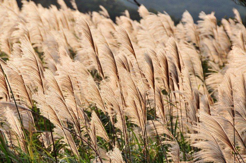 時序入秋,又是芒花盛開季節。 本報系資料照/記者邱德祥攝影
