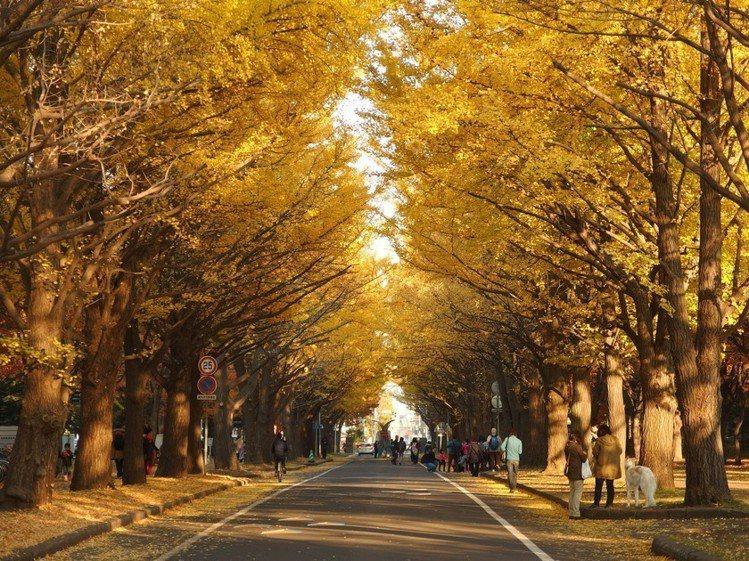 北海道大學銀杏大道。圖/樂天旅遊提供