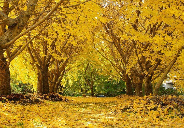 愛知縣稻澤市祖父江町」是全日本擁有最多銀杏樹的小鎮。圖/樂天旅遊提供