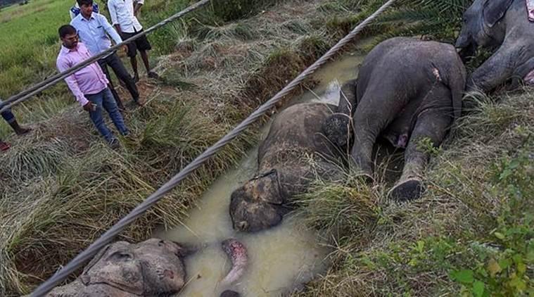 印度大象在覓食中誤觸電線,7頭大象不幸遭到電擊死亡。圖片來源/印度快報