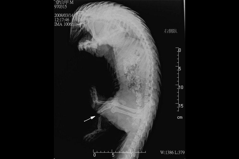 特生中心為受傷穿山甲拍X光片進行後續治療。 圖/特生中心提供