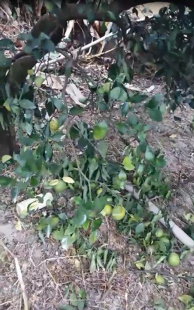嘉義縣梅山鄉過山村有一處柳丁果園,上午發現多棵柳丁果樹,疑遭不明動物肆虐,果農指...