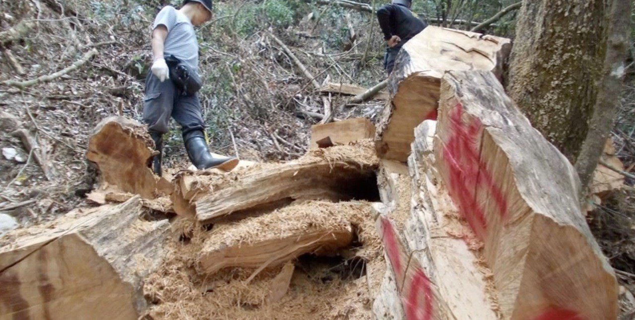 東勢林管處今年初發現大甲溪事業區發現山老鼠盜伐台灣扁柏,刑事局中打第二隊今破獲以...