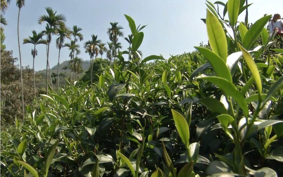南投仁愛冬茶今年受降雨和低溫影響,產期延後約2周,產況減約3成,但「高山味」將更...